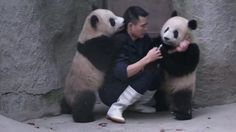 """Baby pandas team up to resist their medication -- Two young pandas were unimpressed when a breeder tried to feed them medicine instead of their usual bamboo in southwest China's Chengdu. The keeper was trying to use a syringe to put medicine in the cubs' mouths but, as this video shows, they resisted by rolling over and climbing on top of him."" -- Click through for video of adorably annoying pandas!"