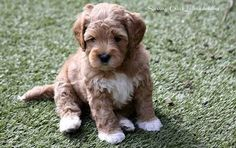 Image result for labradoodle puppies