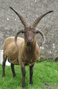 Manx Loaghtan - The breed originates from the prehistoric short-tailed breeds of sheep found in isolated parts of North West Europe where they survived because they were not replaced by more developed breeds.