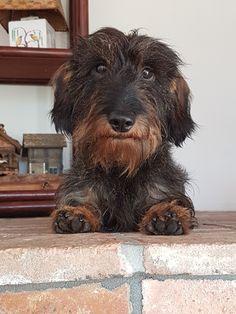 Daschund, Dachshund Puppies, Dachshunds, Nice Dogs, I Love Dogs, Puppy Love, Scottish Terrier, Fox Terrier, Terriers