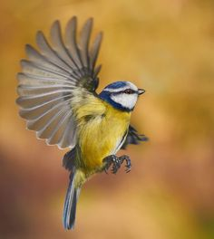 Blue Tit with its wing spread