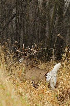 White Tail Buck Deer