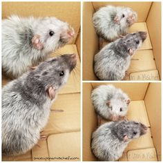 Binx a Silvermane & Fluffy a Silvermane-Harley - rat❤ - Cute Small Animals, Animals Beautiful, Rare Animals, Animals And Pets, Strange Animals, Rats Mignon, Les Rats, Dumbo Rat, Rat Cage
