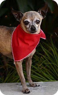 San Pedro, CA - Chihuahua. Meet Peanut, a dog for adoption. http://www.adoptapet.com/pet/12693148-san-pedro-california-chihuahua
