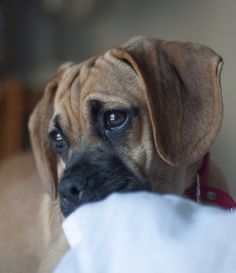 Our #puggle #puppy Lily