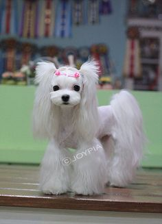 Maltese - love the cut! I think this will be my next cut on my pups....at most the girls. Now to find a good cut for my male