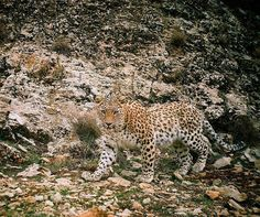 """Persian leopard"" - captured by camera trap. ""Bemo National Park, Shiraz, Fars province, Iran (Persian: پلنگ ایرانی ثبت شده بوسیله دوربین تله ای - پارک ملی بمو - شیراز, فارس) Credit: PLAN4theLAND"