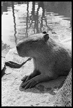 Capybara pro look!
