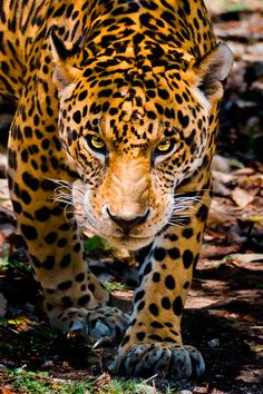 Eyes of a Jaguar