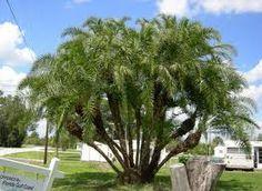 palmera Phoenix reclinata