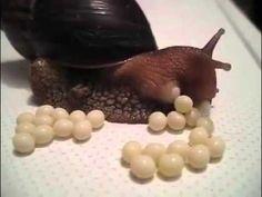 TIL snails lay eggs African Snail, Giant African Land Snails, Baby Snail, Giant Snail, Snail Life Cycle, Snail Facts, Aquarium Snails, Snail Farming, Pet Snails