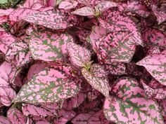 caladium with impatiens and coleus at DuckDuckGo Best Plants For Shade, Shade Plants, Pink Garden, Shade Garden, Pink Leaves, Pink Flowers, Shade Annuals, Freckle Face, Hummingbird Garden