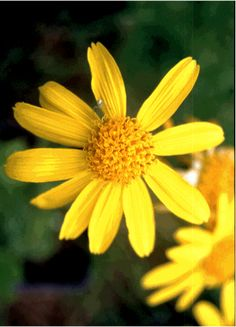 Arnica - for sprains and bruises