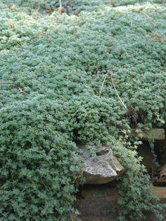 Thymus Lanuginosus -- Bluestone Perennials