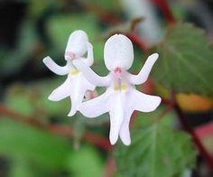 Orquídea Menina Dançarina (Impatiens bequaertii)