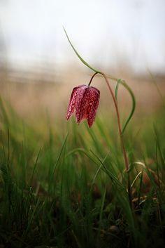 Fritillaria meleagris - Kungsängslilja