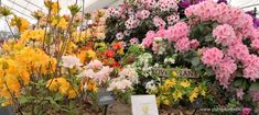 Millais Nurseries Celebrate Exbury Gardens, at the RHS Chelsea Flower Show 2019 - Pumpkin Beth