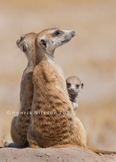 (KO) Meerkats. Two adults are left at home to babysit while the others hunt down breakfast. The baby is interested in the human but stays behind his babysitters. There is only one mating pair in any meerkat troop. Any female who turns up pregnant will be banished from the group so that all members stay related to the mating pair. A baby not related will be killed. All members will protect any baby to the death. Interesting creatures.