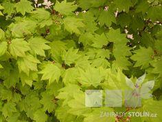 Kliknutím obrázek zavřete, tažením jej přemístíte. Šipkami zobrazíte předchozí či následující. Herbs, Herb, Medicinal Plants