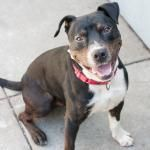 Jack-Jack here! I'm a super sweet and friendly 1 year old shepherd/pit bull mix. I have a lovely energy level; I like to play but I'm also just as content hanging out. I LOVE butt scratches and I have a pretty cute dance I do if you scratch me right above my tail.  I'm smart and eager to please - I know how to sit and I'm excited to learn more! Jack Jack is ACR# 23843 at Oakland Animal Services.