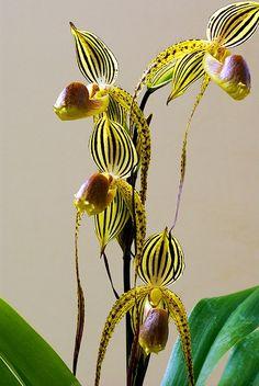 Slipper-orchid: Paphiopedilum - Flickr - Photo Sharing!