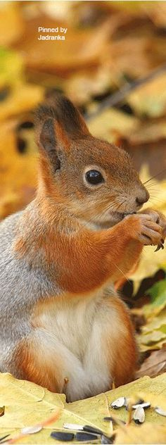 Fox squirrel types live throughout a lot of the USA, leaving out the eastern coastline. It is the biggest sort of squirrel varying from 17 to 27 inches long. These huge squirrels can be found in 2 distinctive shade teams.