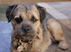 Border Terrier. Awesome breed, high energy, very affectionate and intelligent. They make me laugh every day.