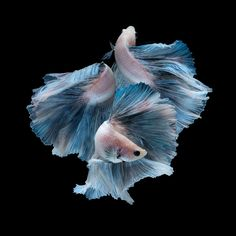 Capture the moving moment of blue siamese fighting fish isolated on black background. Betta fish. Fish of Thailand