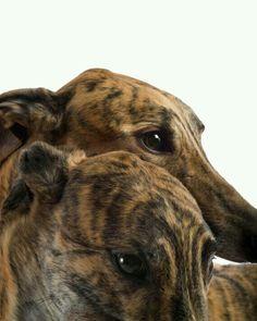 Beautiful hounds