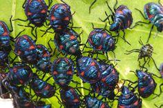 Shield Bug babies