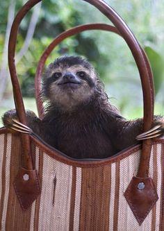 Sloth in a handbag
