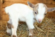Baby goats are ridiculously cute