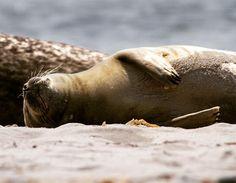 Der machts richtig #seal #sealife #seehund #helgoland #strandleben #beachlife #wildlife #wildlifephotography #beach #strand