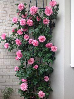 2015年5月 レオナルド・ダ・ビンチ 去年植えたバラが満開になりました。
