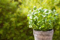 Φυσικά εντομοαπωθητικά -7 φυτά εσωτερικού και εξωτερικού χώρου που διώχνουν τα κουνούπια   GREEN   iefimerida.gr Peppermint Plants, Basil Plant, Enjoy The Sunshine, Garden Guide, Lemon Balm, Natural Garden, Insect Repellent, Shade Plants, Fresh Basil