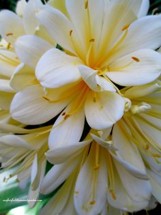 Yellow Clivia at Longwood Gardens (photo by  Our Fairfield Home & Garden) https://www.facebook.com/OurFairfieldHomeAndGarden#
