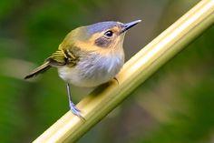 Foto tororó (Poecilotriccus plumbeiceps) por Ernani Oliveira | Wiki Aves - A Enciclopédia das Aves do Brasil