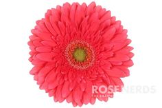 Wholesale Coral Gerbera Daisies is the ultimate wedding flower to match your coral-themed event. A bridal shower favorite -- this flower will add a gorgeous pop of color to any bouquet or floral arran