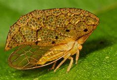 Treehopper (Oeda sp. cf. inflata)