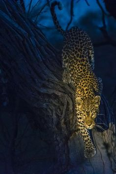 A leopard creeps down the trunk of a tree at twilight in Botswana's Okavango Delta.