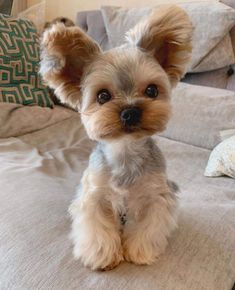 Yorkies, Puppies And Kitties, Yorkie Puppy, Cute Puppies, Yorky Terrier, Yorshire Terrier, Baby Dogs, Pet Dogs, Pets