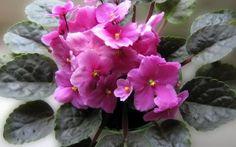 Preview wallpaper violet, flower, indoor, foliage, pot