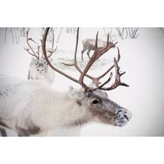 Large Wall Art-Winter Reindeer Photo-Christmas in Norway Snow-Home... ($70) ❤ liked on Polyvore featuring home, home decor, wall art, backgrounds, pictures, animals, photo, frozen, photo picture and wall home decor