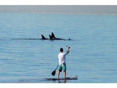 Killer whale sightings feature familiar visitors to SoCal coast - The Orange County Register