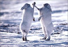 Boxing Arctic Hares, Ellesmere Island, Canada by Art Wolfe Arctic Hare, Arctic Animals, Arctic Tundra, Art Wolfe, Ellesmere Island, Wild Animal Wallpaper, Animal Pictures, Funny Pictures, Hare Pictures