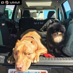 We are ready for adventure mom!!! #tuffnfluff #canecorsomix #gotyou #love #loveofpoms #pomeranian #pommylovers #adorable #adventure #adventuretime #dozer #amelia #k9ballistics #carmat @k9_ballistics @dogsofinstagram @pomeranianworld #rescuedogs #rescuedogsofinstagram @rescuepetsofinstagram @pommylovers @cool.angel369_ @dog_features @dog_pictures  Check out more Dog Products at: Http://k9ballistics.com