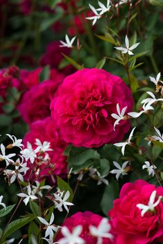 Combining Roses with June Perennials Beautiful Flowers Images, Flower Images, Beautiful Roses, Beautiful Gardens, Roses David Austin, David Austin Rosen, Little Rose, Special Flowers, Garden Inspiration