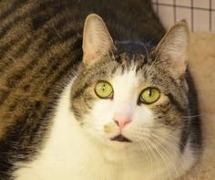 Adoptable: Blade ~ Male/Neutered ~ Domestic Shorthair/Mix ~ 6 years 2 months ~ (906)475-6661 UPAWS In Shelter