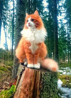 #FotografíaCientífica Majestuoso Gato Noruego del bosque. #ciencia #animales #cat #gato #fotografía