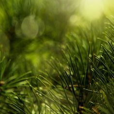 Syrop z sosny to naturalny preparat idealny na kaszel i przeziębienie. Można go stosować nawet u małych dzieci, które bardzo lubią jego słodki smak... Dandelion, Herbs, Flowers, Plants, Dandelions, Herb, Plant, Taraxacum Officinale, Royal Icing Flowers